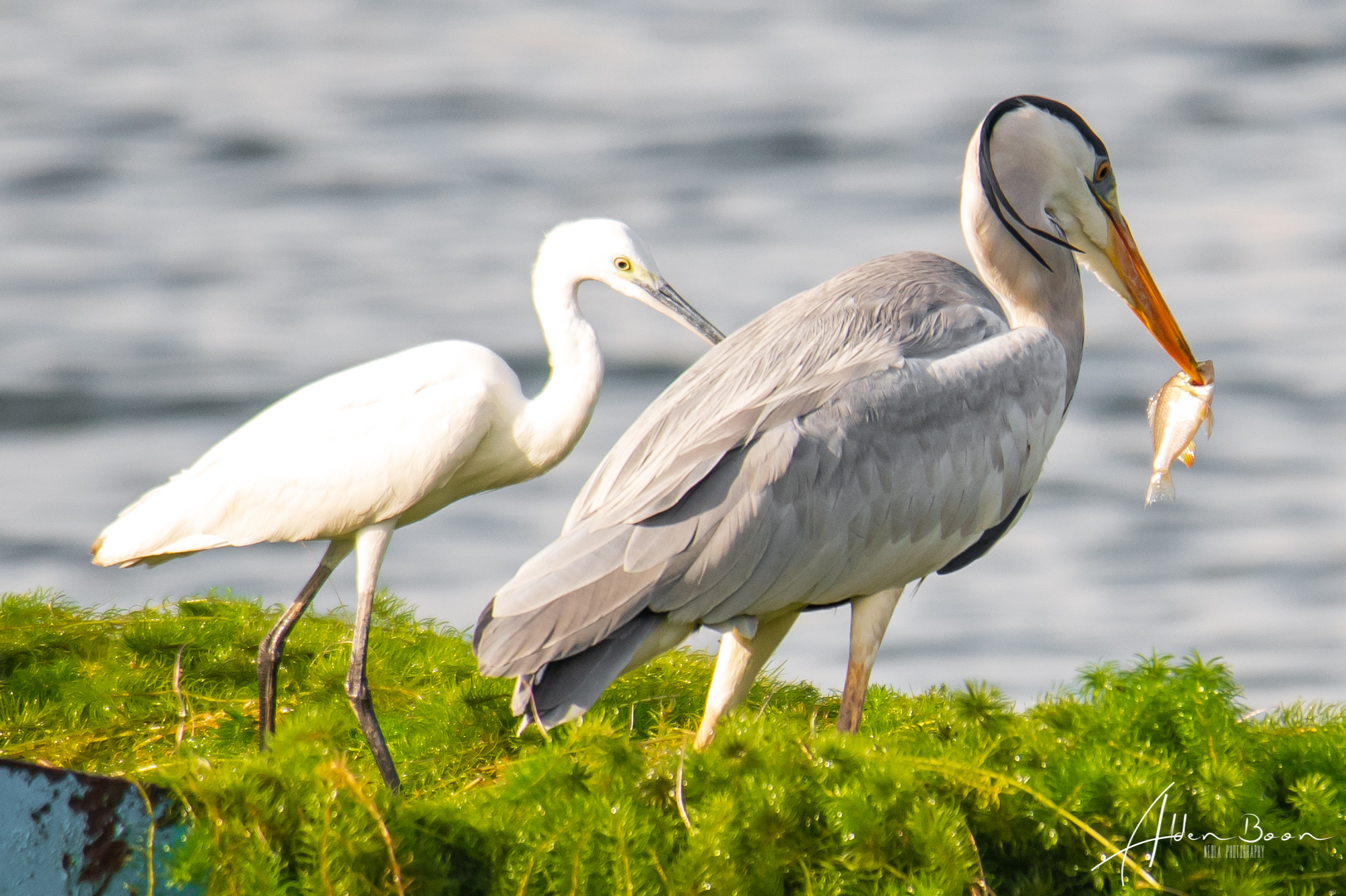 Lower Seletar Reservoir Bird Photography Grey Heron Singapore